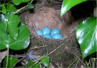 Song Thrush Nest with Eggs
