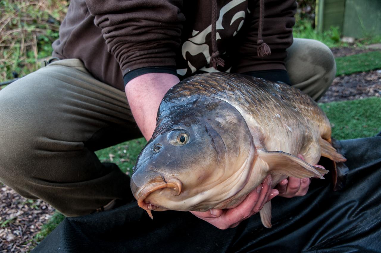 common carp 25 lb -b