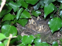 Song Thrush Chicks
